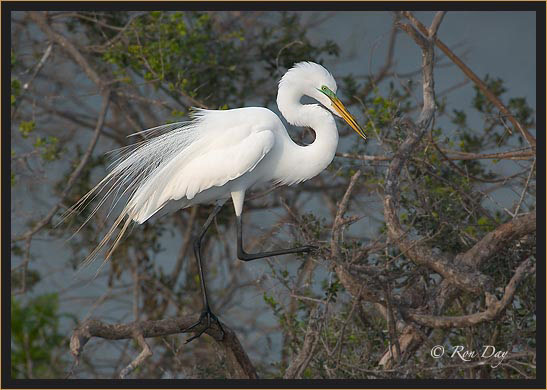 Great Egret at Rookery, High Island
